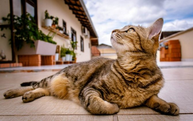 что делать при лишае у кошек