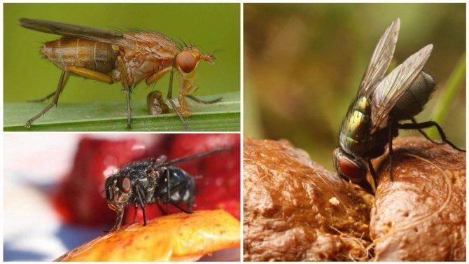 Что едят мухи в домашних условиях