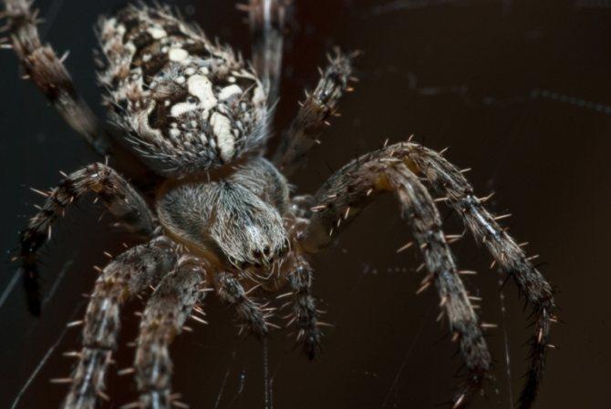 Что кушает паук крестовик
