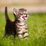 Что может означать мяуканье котенка