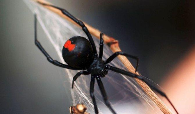 Что нужно знать о пауке каракурте?