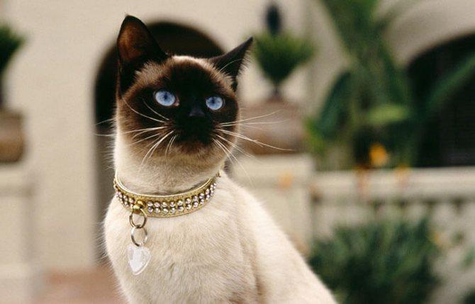 Что отличает сиамскую кошку