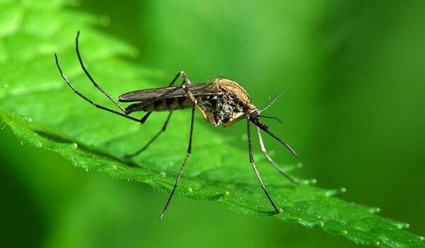 Что переносит малярийный комар 4