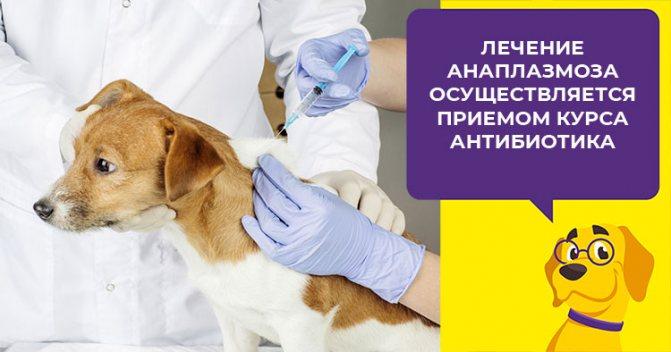 Что такое анаплазмоз у щенков и взрослых собак