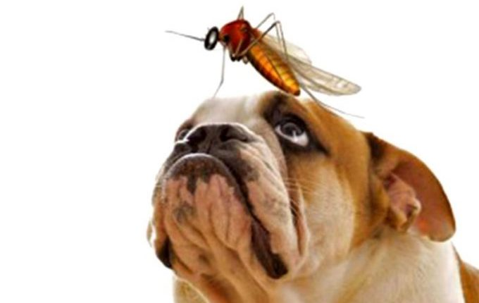 что такое дирофиляриоз у собак