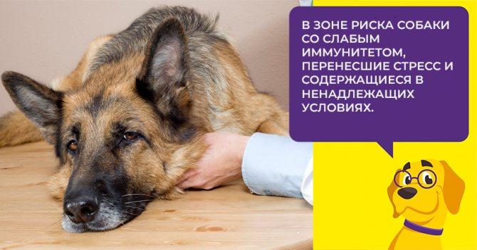 Что такое коронавирусная инфекция: как протекает болезнь у взрослых собак и щенков