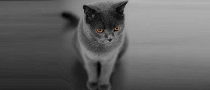 Что такое кот крипторх и как кастрировать кота с одним яичком