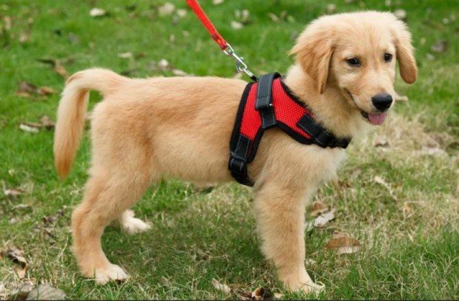 что такое шлейка для собаки