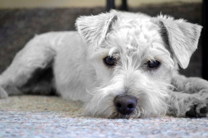 Что такое тримминг собак