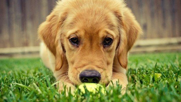 что значит крипторхизм у собак