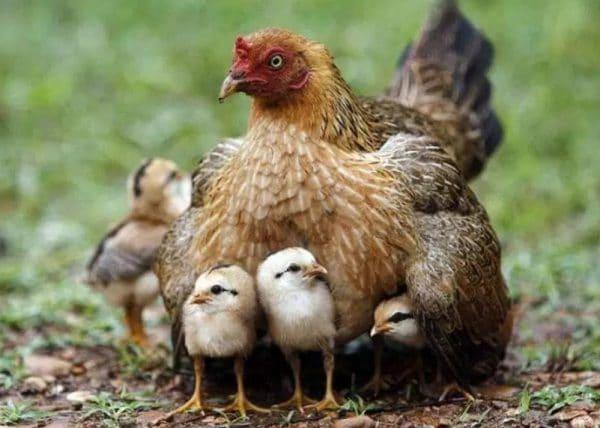 Чтобы мамаша приняла цыплят, их желательно подсаживать ночью, в темноте
