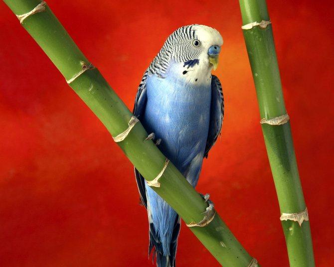 Чтобы попугаи были здоровыми и правильно развивались, не забывайте о своевременной профилактике блох в их клетках