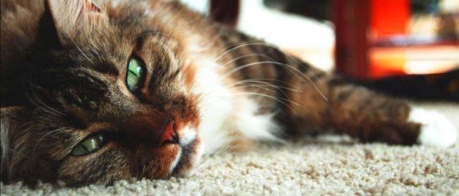 Циклоферон для кошек: состав, инструкция по применению