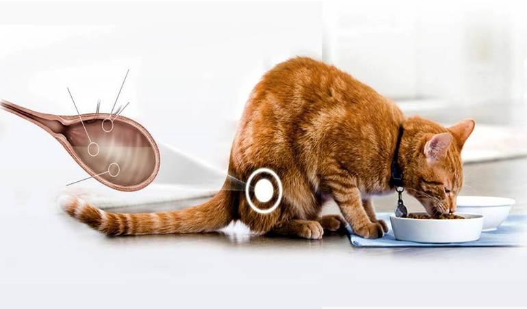 Циститы у кошек