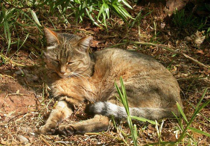 Cтепной кот, имеющий «дикий» полосатый тип окраски. Фото: Sonelle at English / Wikipedia / CC BY-SA 3.0 («Наука и жизнь» №8, 2017)