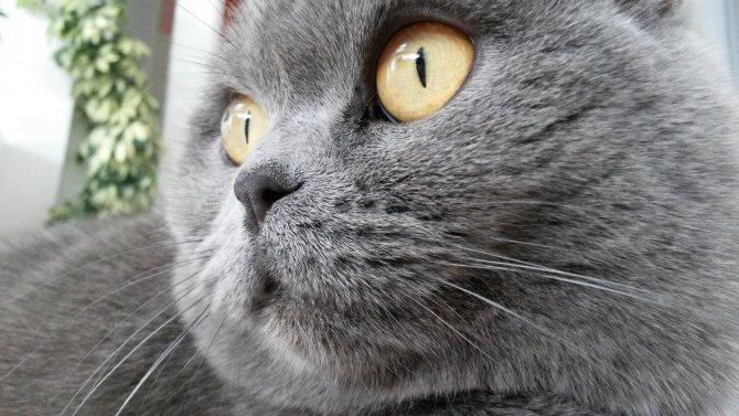 цвет глаз британских кошек