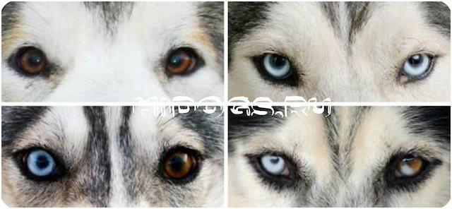 Цвет глаз у Хаски, какой может быть по стандарту, особенности разных глаз.
