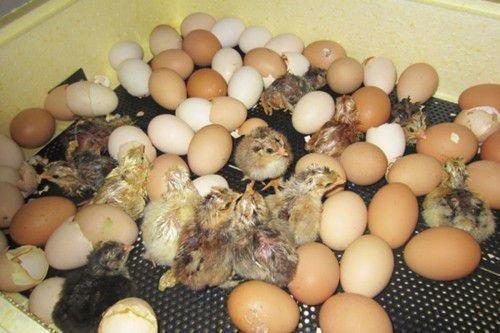 Цыпленок в скорлупе