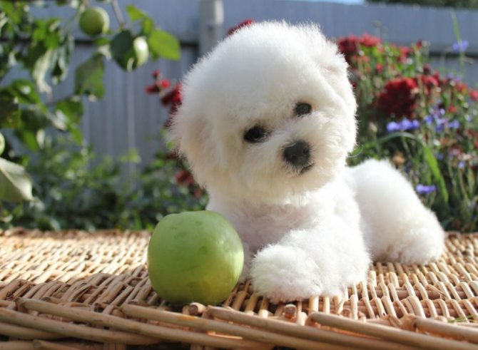 Декоративная собака