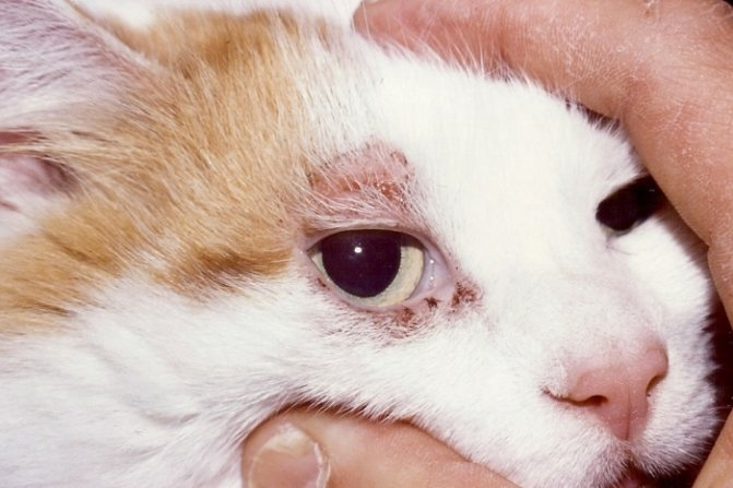 Демодекоз кошки переносят, как правило, легко