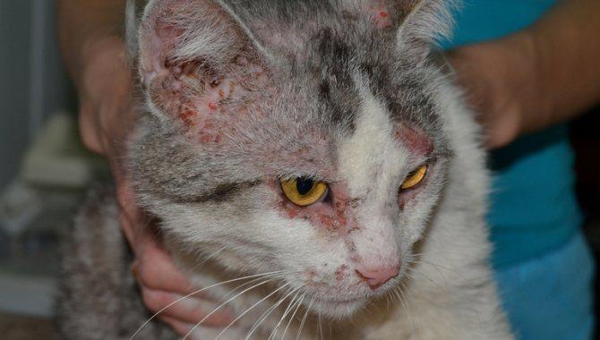 Демодекоз у кошек симптомы и лечение