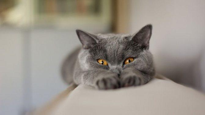 Демодекоз у кошек - симптомы и лечение