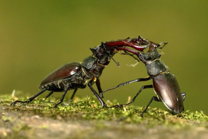 Дерущиеся самцы жука-оленя.jpg
