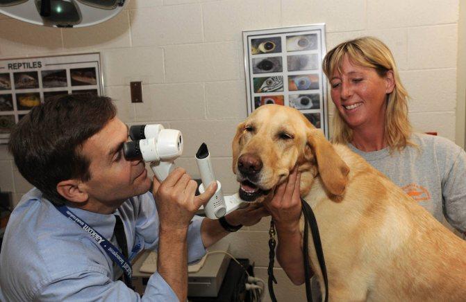Диагностика бельма у собаки