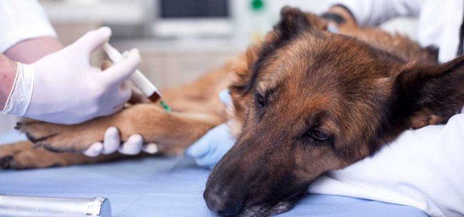 Диагностика бешенства у собак