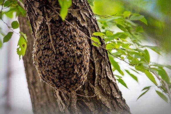 Дикие пчелы как избавиться