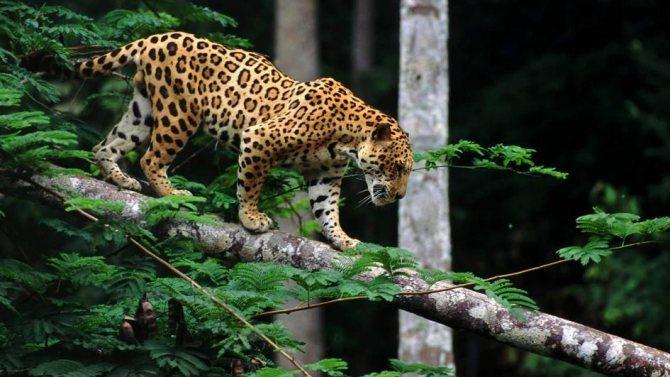 Дикое животное ягуар: описание и образ жизни