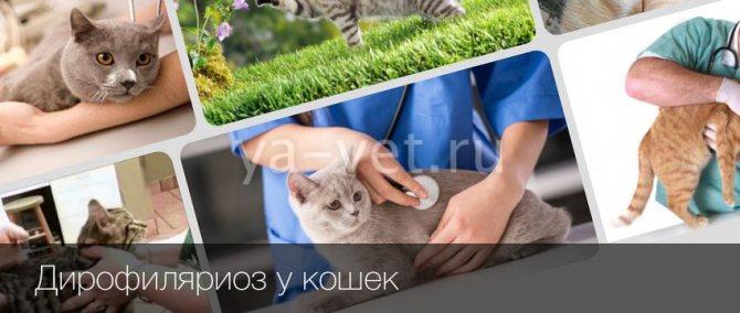Дирофиляриоз у кошек: основные симптомы и лечение