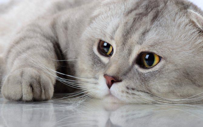 дирофиляриоз у кошек симптомы лечение.jpg