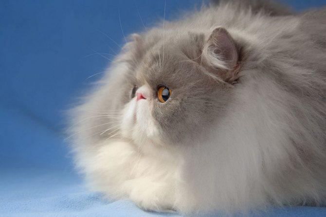 Длинношерстная персидская кошка.