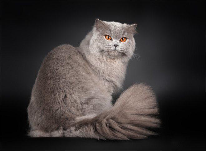 Длинношерстые британские кошки обладают более мягким нравом