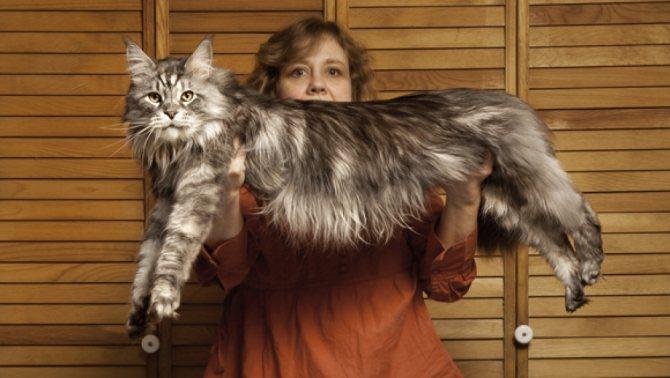 длинный кот