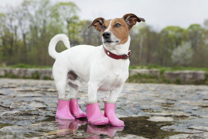 Для чего собакам обувь