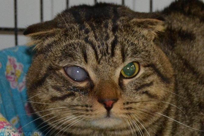 Для обеспечения доступа света к сетчатке у старых котов зрачки постоянно расширены