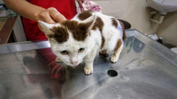 Для постановки диагноза необходимо комплексное обследование кошки
