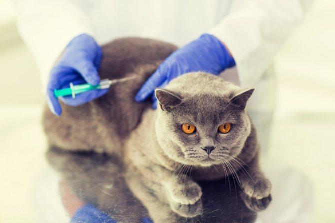 Для предотвращения заражения кошки опасными заболеваниями нужно своевременно делать профилактические прививки