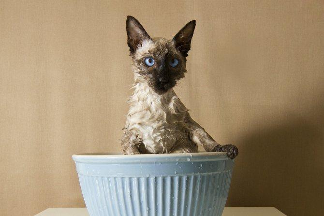Для успокоения кошку можно окунуть в воду