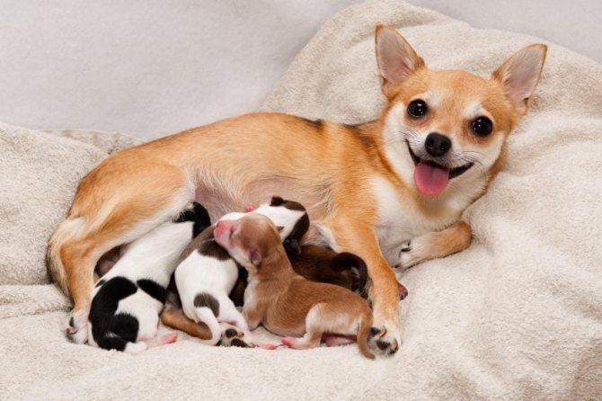 до скольки растут маленькие собачки