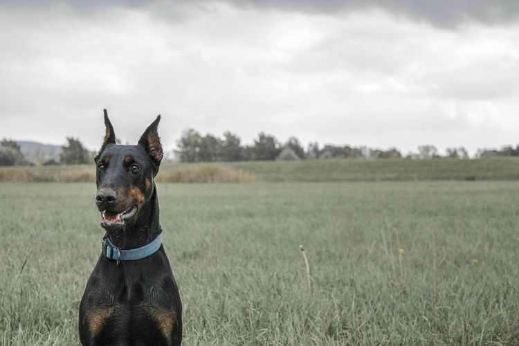 доберман пинчер фото собаки