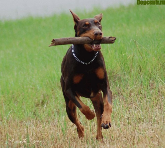 доберман послушная собака