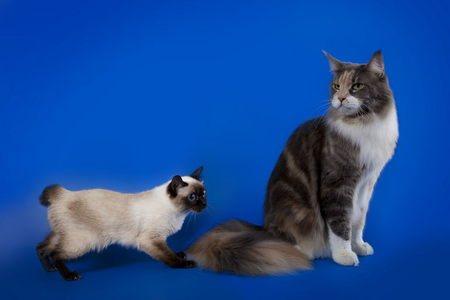 Добродушные миниатюрные кошки