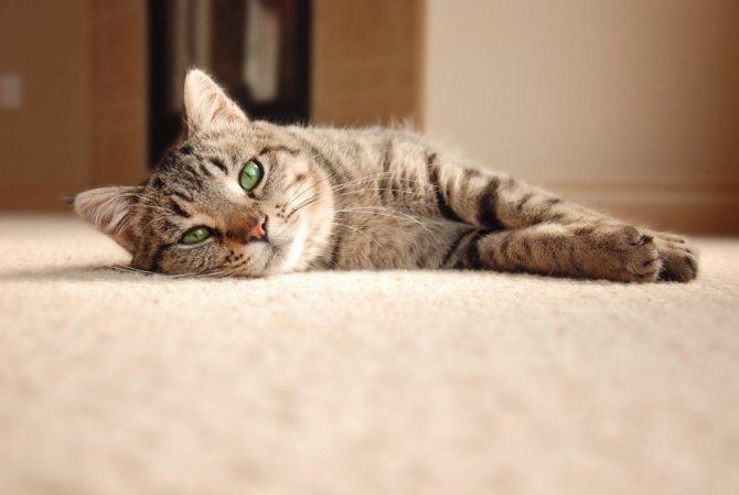 Доброкачественное образование-шарик под кожей у кошки