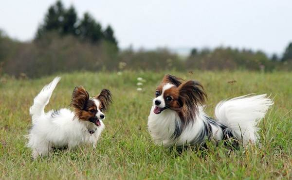 Добрые-породы-собак-Описание-особенности-названия-и-фото-добрых-пород-собак-9