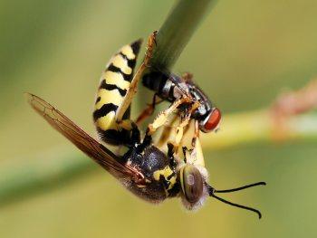 добыча осы