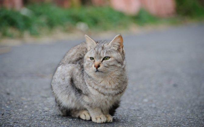 Домашние кошки созревают быстрее уличных