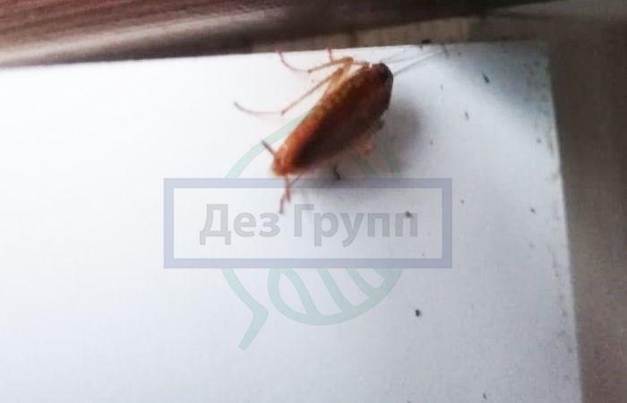 Домашние насекомые - таракан